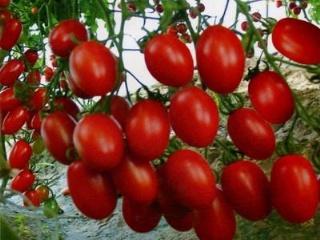 小番茄要怎么种植呢?