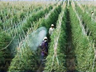 小番茄圣女、千禧栽培技术