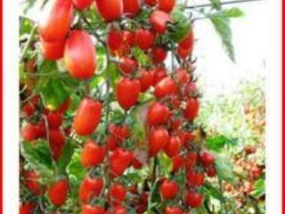 小蕃茄圣女果栽培技术