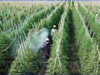 圣女果栽主要虫害防治