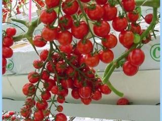 圣女果及其高效栽培技术