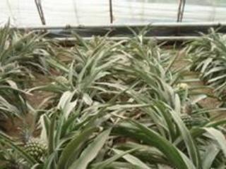 北方温室种植菠萝