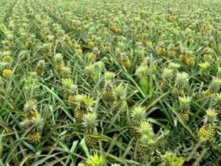 菠萝实用栽培技术