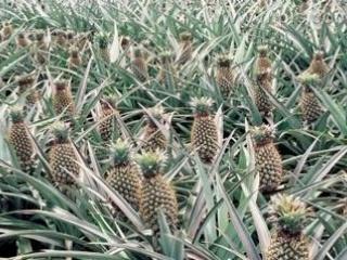 菠萝高产优质的栽培管理技术