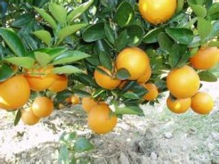 红肉脐橙栽培技术要点