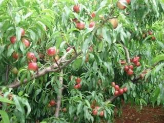 油桃种植技术