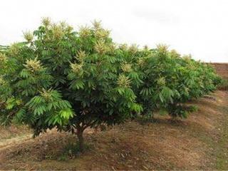 龙眼树种植技术要点