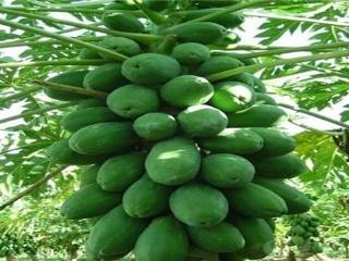 木瓜种植技术需要了解的几点事项