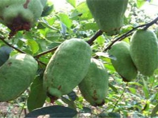 木瓜种植方法与田间管理要点