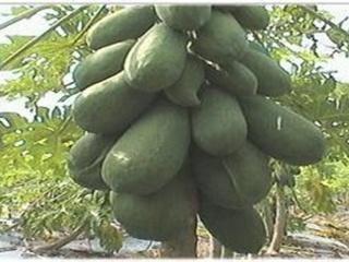 木瓜种植时间是什么时候?