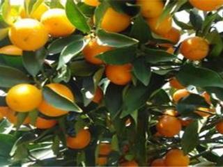 脐橙种植管理技术及主要增产措施