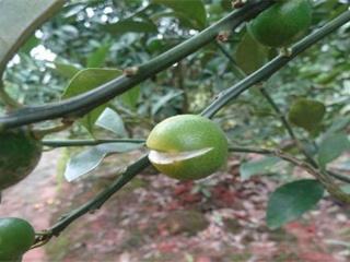 脐橙裂果的原因和解决办法