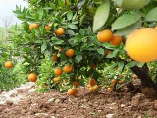 如何种植脐橙 脐橙种植的管理技术要点