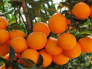脐橙种植管理技术 怎么种植脐橙能高产