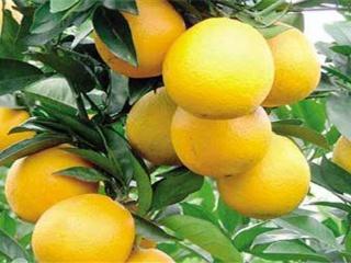 脐橙如何施肥 脐橙施肥技术须知