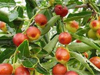 枣树春季管理的三个必要措施