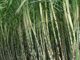 甘蔗的施肥方法 甘蔗的需肥规律是什么