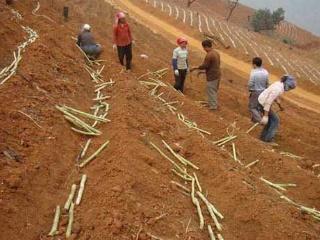 甘蔗主要种植步骤与技术要点