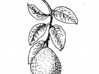 柚子皮的功效与作用及相关配方