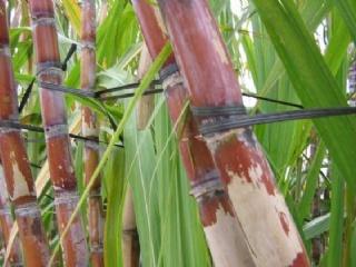 甘蔗除草剂的常见误区
