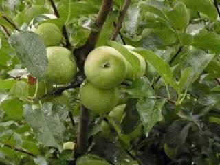 苹果树高产施肥方法和方式