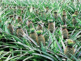 如何种植菠萝 菠萝种植方法与技术要点