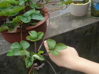 草莓繁殖方法 常见的三种草莓繁殖方式