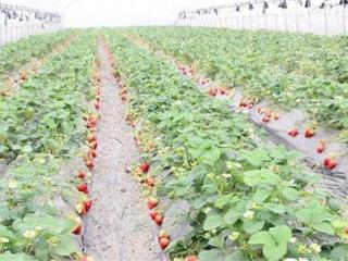 大棚草莓的种植技术要点