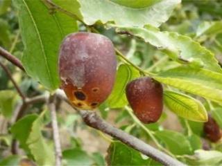枣树炭疽病防治方法 枣树如何防治炭疽病