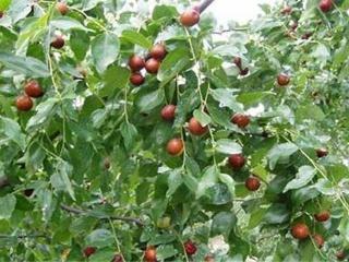 枣树黑斑病防治方法,如何防治枣树黑斑病