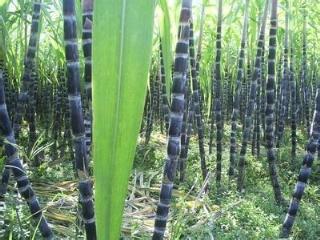 贵州册亨县甘蔗种植方法介绍