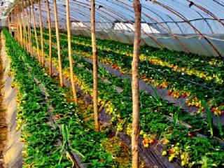 南方大棚草莓种植技巧