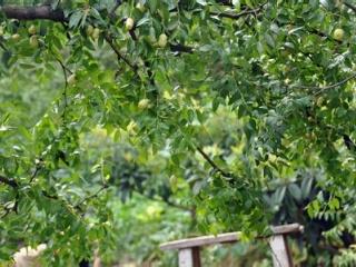 冬枣树幼果期的管理三要点