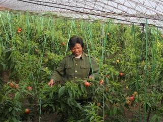 温室油桃种植技术及定植后的管理