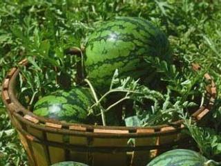 西瓜需肥规律与施肥技术