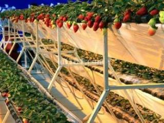 设施草莓花果期如何管理