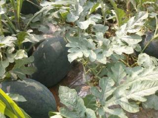 西瓜的常见种类有哪些