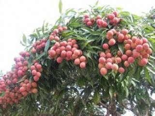 荔枝大小年形成的原因及对应方法