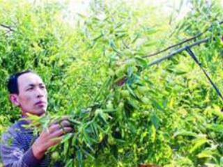 冬枣树整形修剪技术
