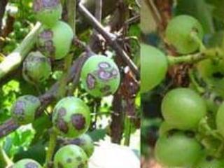 葡萄生长过程的病虫害防治