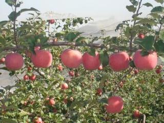 苹果夏季栽培管理重点