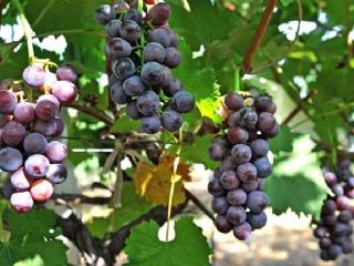 葡萄盆栽技术要点