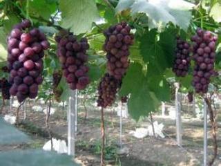大棚葡萄常见问题解答