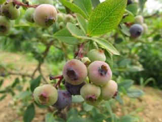蓝莓的种植-蓝莓图片