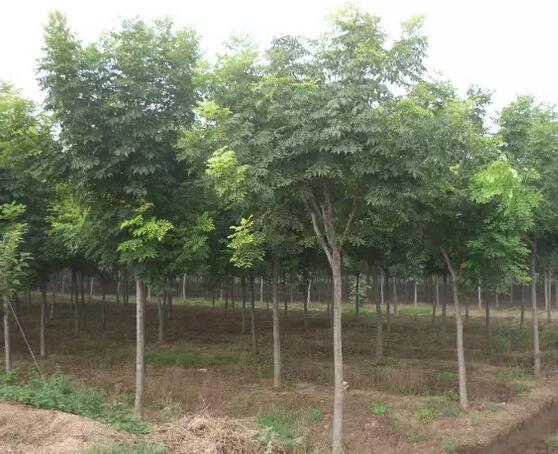 黄山栾树3.jpg