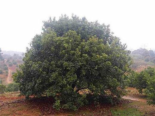 杨梅大树2.jpg