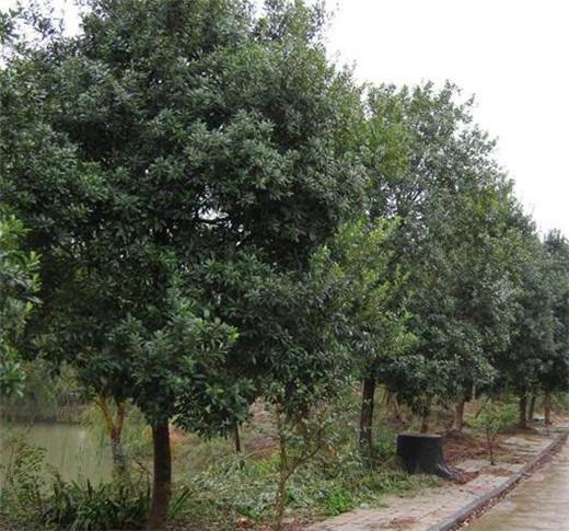 杨梅大树3.jpg