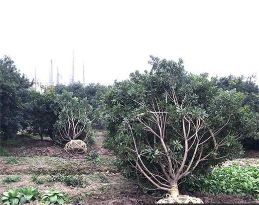 杨梅树1.jpg