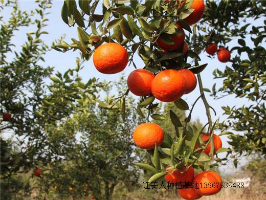 红美人柑橘10.png