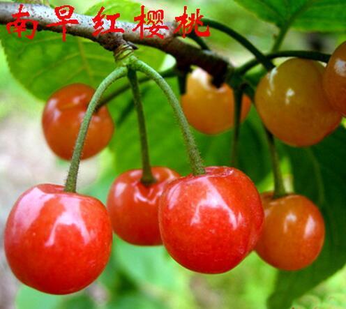 南早红樱桃.jpg